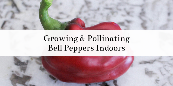 Growing & Pollinating Bell Peppers Indoors